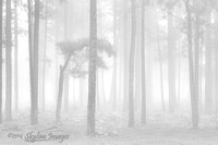 Misty Forest, Mogollon Rim AZ